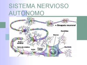 SISTEMA NERVIOSO AUTONOMO SISTEMA NERVIOSO AUTONOMO El sistema