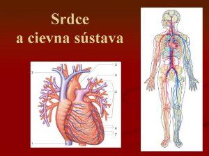 Srdce a cievna sstava SRDCE COR CARDIUM Uloenie