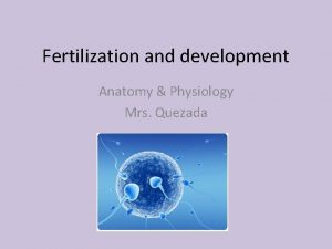 Fertilization and development Anatomy Physiology Mrs Quezada Aim