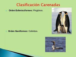 Clasificacin Carenadas Orden Esfenisciformes Pinginos Orden Gaviiformes Colimbos