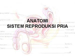 ANATOMI SISTEM REPRODUKSI PRIA 1 ISI I Anatomi