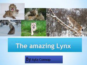 aaa The amazing Lynx By Ayla Connop Lynx