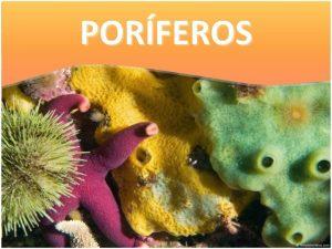 PORFEROS Caracteristicas gerais Eucariontes Pluricelulares Invertebrados No possuem