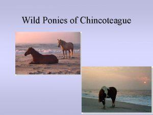 Wild Ponies of Chincoteague Wild Horses Wild horses