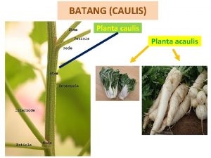 BATANG CAULIS Planta caulis Planta acaulis Meliputi Definisi