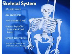 Skeletal System 300 baby bones 206 adult bones