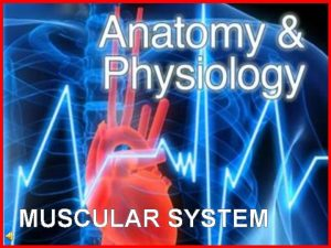 MUSCULAR SYSTEM What is the muscular system The