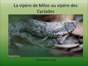 La vipre de Milos ou vipre des Cyclades